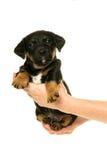 Jack Russel-puppy in handen wordt in wit worden geïsoleerd gehouden dat stock foto