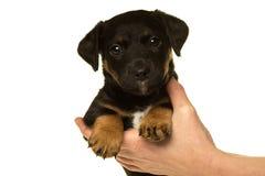 Jack Russel-puppy in handen wordt in wit worden geïsoleerd gehouden dat Royalty-vrije Stock Foto's
