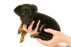 Jack Russel-puppy in handen wordt in wit worden geïsoleerd gehouden dat Royalty-vrije Stock Foto