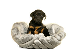 Jack Russel-puppy in handen wordt in wit worden geïsoleerd gehouden dat Stock Foto's