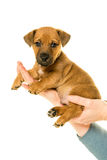 Jack Russel puppy held in hands isolated in white Royalty Free Stock Image