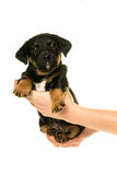 Jack Russel puppy held in hands isolated in white Stock Photo