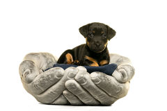 Jack Russel puppy held in hands  in white Royalty Free Stock Photography