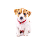 Jack. Russel puppy isolated on white royalty free stock photos