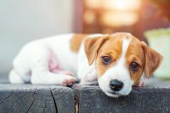 Jack russel puppy op wit tapijt Stock Afbeelding