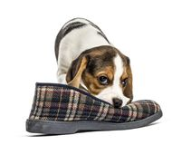 Jack russel puppy playing with a slipper,  Stock Images