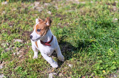 Jack Russel puppy Stock Image