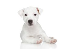 Jack Russel puppy posing Royalty Free Stock Image