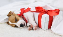 Jack russel puppy with red bow Stock Photos