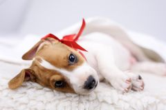 Jack russel puppy with red bow Royalty Free Stock Images