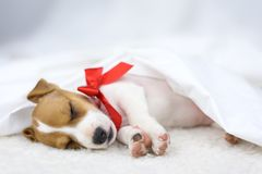 Jack russel puppy with red bow Royalty Free Stock Image
