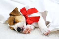 Jack russel puppy with red bow Stock Image
