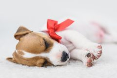 Jack russel puppy with red bow Stock Photography