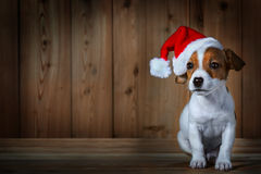 Jack russel puppy in red sunta cap Stock Photography