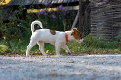 Jack russel puppy Royalty Free Stock Image