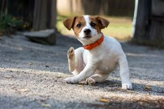 Jack russel puppy. Scratching jack russel puppy on way royalty free stock photos