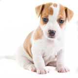 Jack Russel Puppy sitting Royalty Free Stock Image