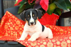 Jack Russel Puppy Sitting on Chair with Christmas Decorations Royalty Free Stock Photography