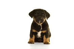 Jack Russel puppy sitting isolated in white Stock Image