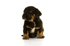 Jack Russel puppy sitting  in white Royalty Free Stock Photo