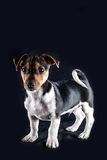 Jack Russel Puppy Royalty Free Stock Photos
