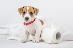 Jack. Russel puppy with toilet paper royalty free stock images