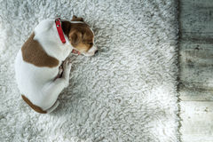 Jack. Russel puppy on white carpet royalty free stock photography