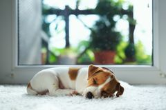 Jack russel puppy on white carpet Stock Photography