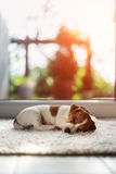 Jack russel puppy on white carpet Royalty Free Stock Photography