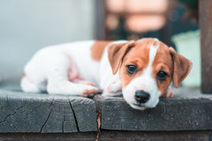 Jack russel puppy on white carpet Royalty Free Stock Photo