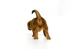 Jack Russel-puppy in wit wordt geïsoleerd dat Royalty-vrije Stock Foto's