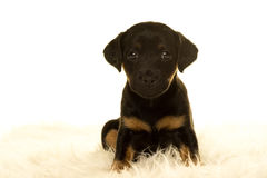 Jack Russel-puppyzitting in wit Stock Foto