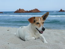 Jack Russel is relaxing. Little dog relaxing on the Sardinian beach Royalty Free Stock Photo