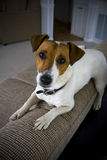 Jack russel resting on couch Royalty Free Stock Images
