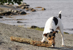 Jack Russel's play Stock Photography