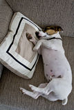 Jack russel sleeping on a pillow Stock Photo