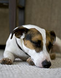 Jack russel sleeping on a pillow Stock Images