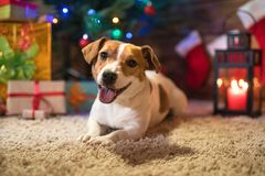 Jack Russel sotto un albero di Natale con i regali e le candele di celebr Immagine Stock Libera da Diritti