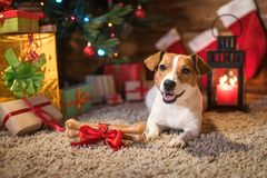 Jack Russel sotto un albero di Natale con i regali e le candele di celebr Immagini Stock