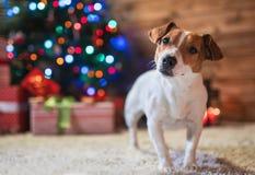 Jack Russel sous un arbre de Noël avec des cadeaux et des bougies de celebr photographie stock libre de droits