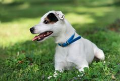 Jack russel on spring forest Royalty Free Stock Photography