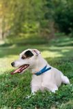 Jack russel on spring forest Stock Images