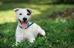 Jack russel on spring forest royalty free stock photo