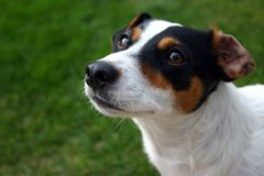 Jack russel stares up Stock Images