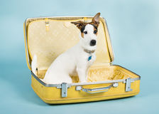 Jack Russel In Suitcase. Picture of a puppy jack russell in a suit case on a blue back ground stock photos