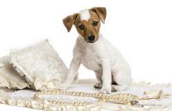 Jack Russel szczeniaka obsiadanie na dywanie, odizolowywającym Obraz Royalty Free