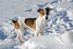 Jack Russel terier Royalty Free Stock Photography