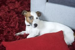 Jack russel terier Royalty Free Stock Photo