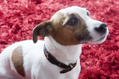Jack Russel terier Images stock