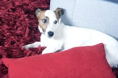 Jack russel terier Royalty Free Stock Image
